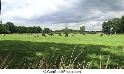 Dairy cattle grazing in small Dutch pasture - wide shot +...