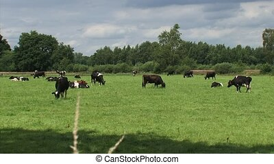 Dairy cattle grazing in small Dutch pasture - medium shot