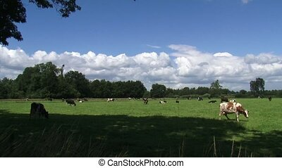 Dairy cattle grazing in small Dutch pasture - medium shot +...