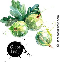 Hand drawn watercolor painting gooseberry on white...