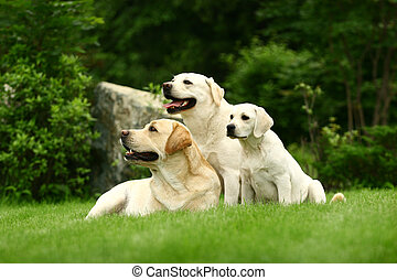 Three white dogs of a miscellaneous age pose on a lawn in...