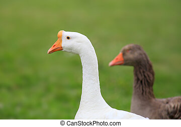 Wild goose - Two wild goose in the meadow