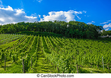 Green fresh vineyard near Ruedesheim, Rheinland-Pfalz,...