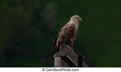 whitetailed eagle in norway lofoten