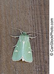 Burren Green - Calamia tridens