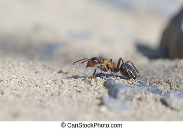 rufa,  -,  formica, hormiga, madera, rojo
