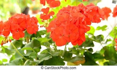Red Geranium (Pelargonium) flower moves with the wind....