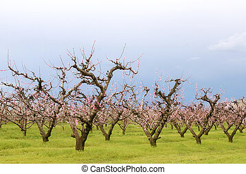 peach trees - numerous peach trees under blue sky in spring
