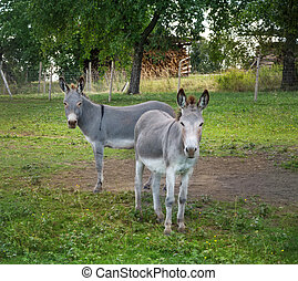 Two gray donkeys stand on a rural paddock and look at the...