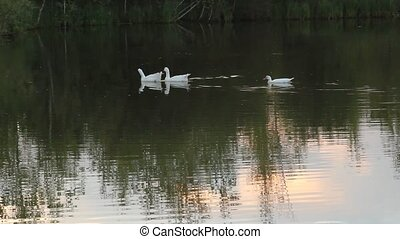 Three goose - Geese floating on the pond in the early summer...