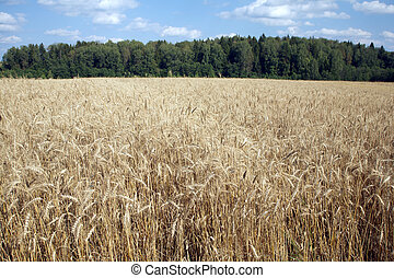 Rye field under blue sky - Beautiful landscape with lot ears...