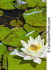 Small green frog sitting on a water lily - Small green frog...