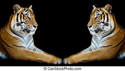 Twin beautiful tiger face to face isolated on black...