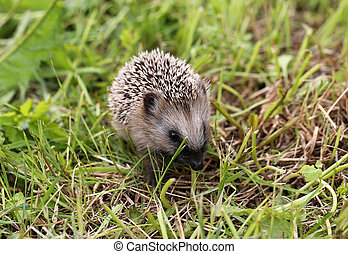 young hedgehog walking on grass summer spring vacation