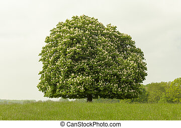 Horse chestnut tree, Aesculus - Horse chestnut tree...