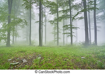 Beech forest - Spring beech forest with mist in the...