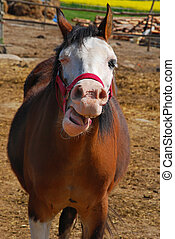 funny laughing horse on the country farm