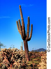 Saguaro Cactus - Saguaro cactus in the winter arizona desert