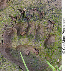 Bear trail - Fresh trail of the brown bear. There sit the...