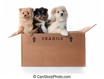 Image of 3 Pomeranian Puppies in a Cardboard Box - Humorous...