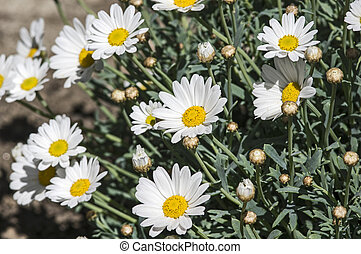 Blooming marguerites - Marguerite blossoms