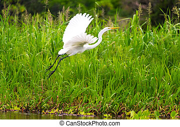 Great White Heron Takeoff - View of a great white heron...