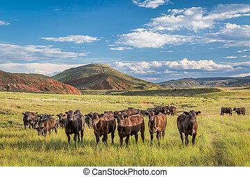 Open range cattle in Colorado - Open range cattle grazing at...