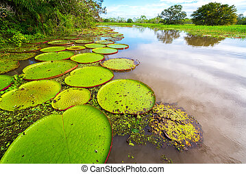 Victoria Amazonica and River View - Victoria Amazonica, the...