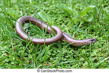 A juvenile Anguis fragilis, also known as a slow worm,...