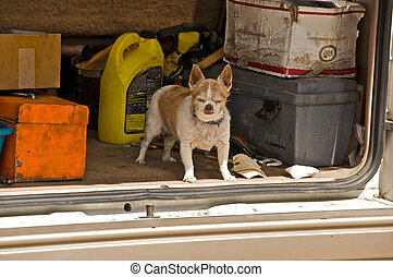 Truly a Junkyard Chihuahua - He may be small, but he is...