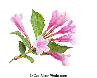 Weigela Blossom - Weigela blossom flower isolated on white...