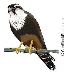 Aplomado Falcon - Aplomado falcon - Falco femoralis