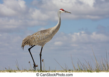 Sandhill Crane (Grus canadensis) in the Florida Everglades