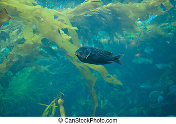 A large black fish swims in the kelp beds of California -...
