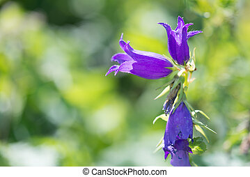 Bellflower - Beautiful flower of blossoming campanula in...