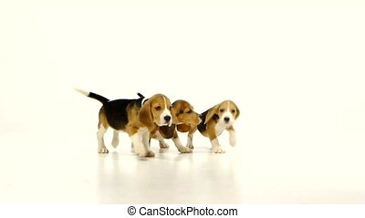Cute Beagle Puppys over white background close up, Slow...