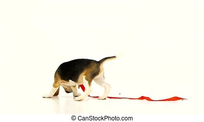 Cute puppy with red ribbon. Slow motion