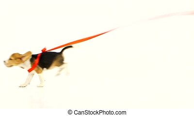 beagle runs puppy with red ribbon. Slow motion - Cute puppy...