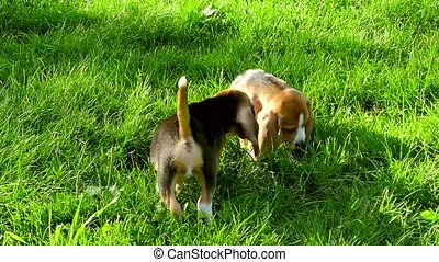 Beagle dogs running across the grass summer day. Slow motion...