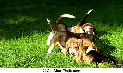 cute Beagle dogs running across the grass summer day. Slow...