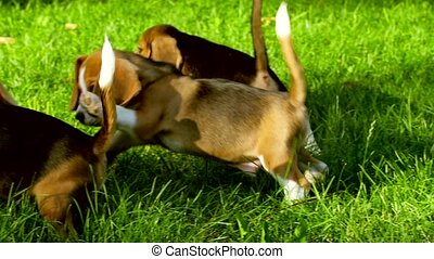 cute Beagle dogs running across the grass summer day Slow...