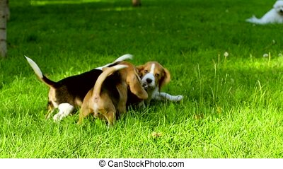 Happy beagle dogs in summer Park. Slow motion - Happy beagle...
