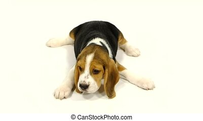 Cute Beagle Puppy over white background close up Slow motion...