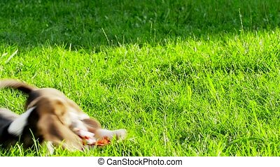 Show dog of breed of beagle on a natural green background...