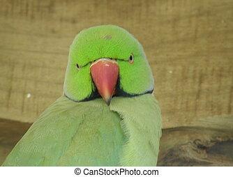 ringneck, Parakeet