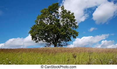 Lonely maple on summertime - Slider shot of lonely maple on...