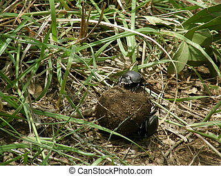 Dung beetles in action, Hluhluwe, South Afirca