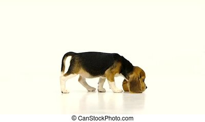 Cute Beagle Puppy over white background close up, Slow...