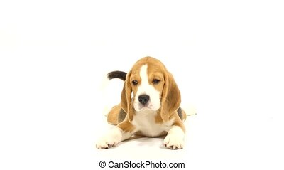 Cute Beagle Puppy over white background close up - Cute...