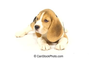 Cute Beagle Puppy It lies on the floor of the studio - Cute...